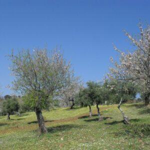 Amandier en fleur dans l'ouest de l'Algarve à pied
