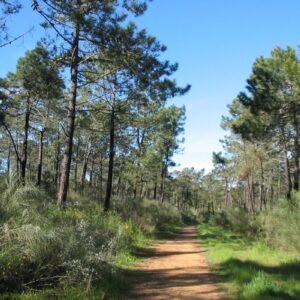 Monte Gordo pine woods